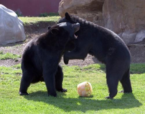 pelea osos.jpeg
